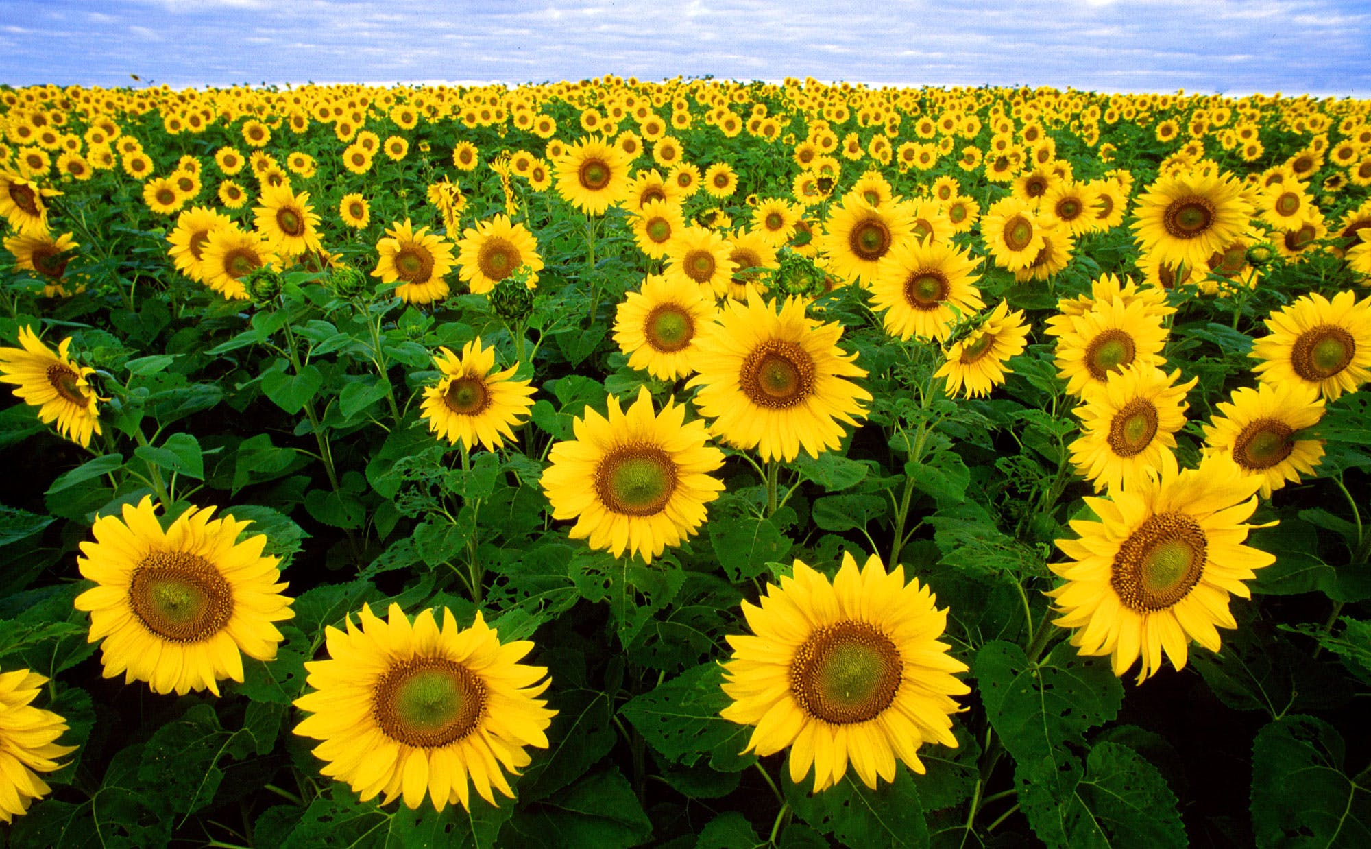 Hunting For Sunflowers June July And August Of 2018